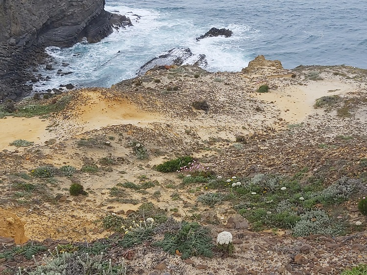 Daucus carota subsp. halophilus